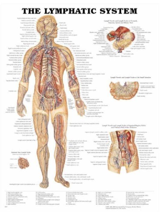 Anatómiai poszterek